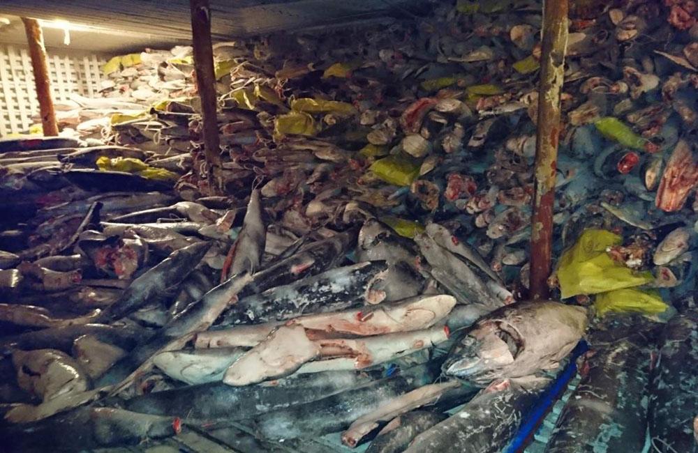 Rapacious Chinese Fishing Fleet Threatens Galapagos-seized_sharks2_1000-jpg