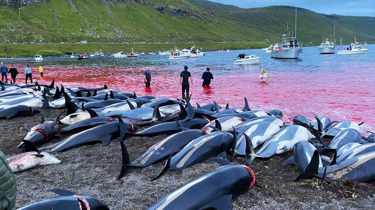 Slaughter of 1500 dolphins in Denmark sparks outrage-dolpins-jpg